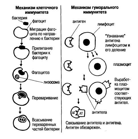 Иммунный статус человека